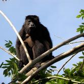Howler-monkey.jpg