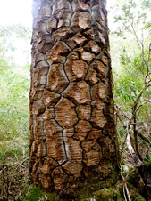 Monkey-Puzzle-Tree-bark.jpg