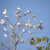 Flock-of-Cockatoos.jpg