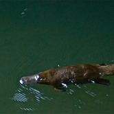 Platypus-In-The-Wild.jpg