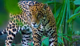 Exotic-rainforest-residents-include-jaguars.jpg