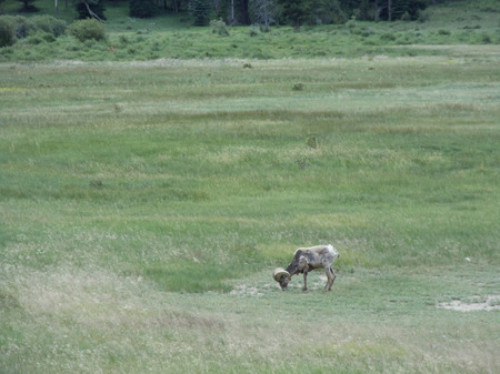 5---A-bighorn-sheep-in-Rocky-Mountain-National-Park,-outside--Estes-Park.jpg
