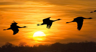 Nebraska-s-Sandhill-Cranes-make-one-of-America-s-great-wildlife-migrations.jpg