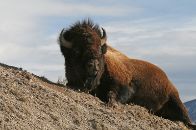 One-of-the-residents-of-Yellowstone-National-Park.png