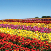 The-Flower-Fields-of-Carlsbad--Ranch-are-a-feast-for-the-senses-keyimage.jpg