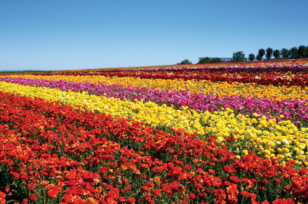 The-Flower-Fields-of-Carlsbad--Ranch-are-a-feast-for-the-senses.jpg