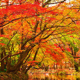 Maple_Trees_Fall-keyimage.jpg